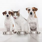 Dog and cat eating food. Puppy eating dogs food poster