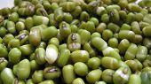 image of urad  - Sprouted Green Urad Dal - JPG
