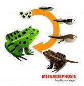 Frog Life Cycle Metamorphosis Animal Life Cycle poster