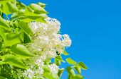 Spring Flower Background With White Spring Lilac Flowers On The Background Of The Blue Sky In Spring poster