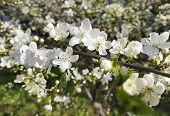 Cherry Blossom Background, Spring Gardening Beautiful Botany poster