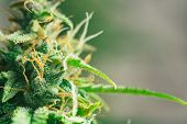 Sugar Trichomes Cbd Thc Shot Cannabis, With Macro Buds Of Medicinal Marijuana . Concepts Of Legalizi poster