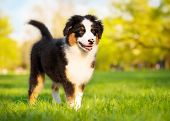 Happy Aussie dog walking at meadow with green grass in summer or spring. Beautiful Australian shephe poster