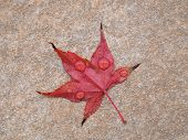 Maple Acer Tree Leaf poster