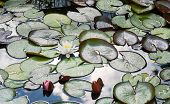 pic of hydrophytes  - Water lilies in a pond after a rain shower - JPG
