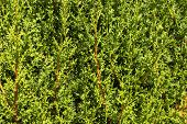 Thick Greens Thuja. Background. Space For Text. poster
