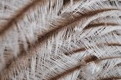Beautiful Original Interesting Abstract Background With White-beige Ostrich Feathers In Close-up poster