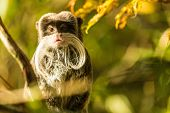 Portrait Of A Cute Monkey With A Long White Mustache. poster