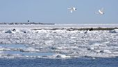image of whoopees  - The ice on the sea breaks up and whoopees arrives - JPG