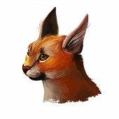 Caracal Wild Cat Isolated Digital Art Illustration. Medium-sized Wild Cat From Africa, Middle East,  poster