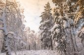 Russia. Siberia. Winter Landscape . Forest In The Snow. The Branches Of The Trees Are Covered With A poster