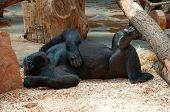 Funny Happy Lazy Black Gorilla Relaxing In Zoo. Lazy Monkey Gorilla Laying & Have Fun. Monkey Gorill poster
