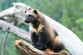 picture of wolverine  - a wolverine sitting on a dead stump near Haines Alaska - JPG
