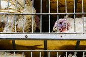 Close Up On White Turkey Face In A Metal Cage In The Transport Truck, Livestock And Transporting Pou poster