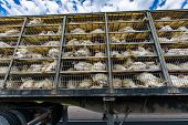 Low Angle Of Live White Turkeys In Transportation Truck Cages, The Inhumane Process Of Transporting  poster