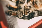 Close Up View Of Tabby Cat Paws. Beautiful Cat Sleeping On A Chair. Domestic Animals And Pets Concep poster