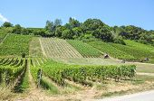 Rows Of Green Vineyards On The Slope Close To Neuchatel Lake In Switzerland. Photographed On A Sunny poster