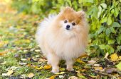 Little Clever Pomeranian Obeys The Owner. Dog Obediently Carries Out The Training Command. Portrait  poster