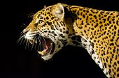 stock photo of panther  - Roaring Adult Female Jaguar over black background - JPG