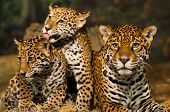 stock photo of panther  - Two young Jaguar Cubs with their mother - JPG