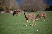 stock photo of deer family  - This Photo was taken in British Columbia - JPG