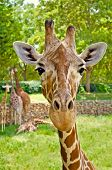Portrait Of A Giraffe Looking Straight At The Camera.