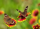 Постер, плакат: Buckeye бабочки на Индийский одеяло цветы