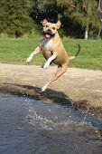 picture of staffordshire-terrier  - Nice American Staffordshire Terrier jumping over the water - JPG
