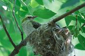 stock photo of brown thrush  - Song thrush chick waiting for parents near the nest - JPG