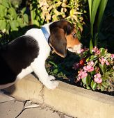 picture of puppy beagle  - Side view of cute Beagle puppy smelling some pink flowers in the yard - JPG