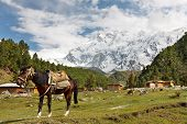 stock photo of karakoram  - A horse and the massive Rakhiot Face of Nanga Parbat in the background - JPG