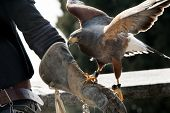 stock photo of falcon  - A beautiful falcon on a falconer hand - JPG