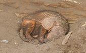 pic of armadillo  - Sleeping armadillo  - JPG