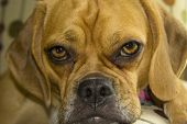image of droopy  - Close up protrait of a puggle