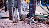 stock photo of mear  - An two meerkat on land in zoo - JPG