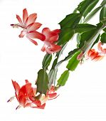 stock photo of schlumbergera  - Blooming Christmas Cactus Schlumbergera isolated on white background - JPG