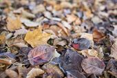 texture background of fall leaves on the ground, mostly maple, asian pear and cottonwood tree - low