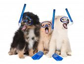 image of pomeranian  - Silly Pomeranian Puppies Wearing Snorkeling Gear - JPG