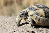 pic of carapace  - Young Turtle walking on the rock photo - JPG