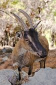 stock photo of samaria  - Wild kri-kri goat in Samaria Gorge Crete Greece.