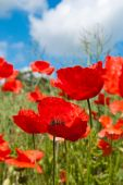 image of poppy flower  - Poppy field in summer with blue cloudy sky with close up of poppies in foreground - JPG