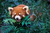 stock photo of panda  - Wild Red Panda in her natural habitat China - JPG