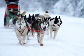 stock photo of sled dog  - Extreme winter sports with use of draft dogs - JPG