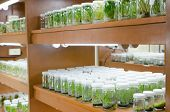 image of vitro  - plant tissue culture in the laboratory - JPG