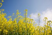 stock photo of biodiesel  - Canola - JPG