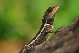 foto of lizards  - Greater spiny lizard Acanthosaura armata black faced lizard masked spiny lizard tree lizard - JPG