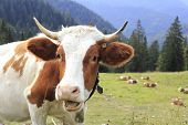 pic of bavarian alps  - funny looking cow in the bavarian alps - JPG