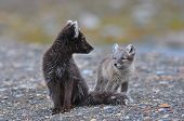 stock photo of arctic fox  - Arctic fox cub looks hesitantly at it