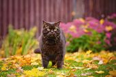 picture of portrait british shorthair cat  - brown british shorthair purebred cat walking outdoors - JPG