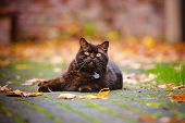 image of portrait british shorthair cat  - brown british shorthair purebred cat walking outdoors - JPG